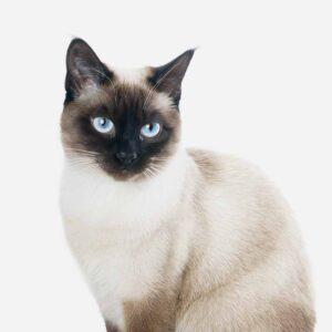 la raza de gato siames