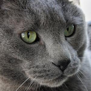 como evitar sobrepeso en los gatos british