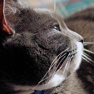 como evitar sobrepeso en los gatos cabeza de gato gordo gris y blanco