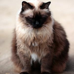 como evitar sobrepeso en los gatos