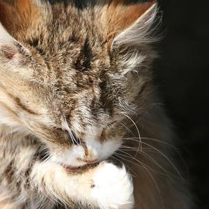 motivos por que los gatos se lamen: higiene
