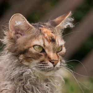 gatos de pelo rizado Selkirk Rex