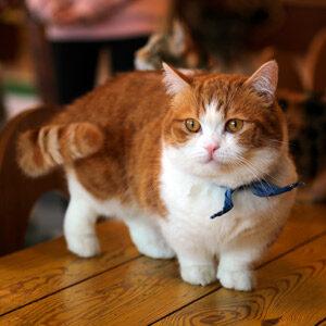 Raza gato pequeño Munchkin