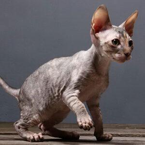 cinco razas de gatos de pelo rizado Cornish Rex Devon Rex Selkirk Rex German Rex LaPerm