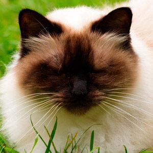 Raza de gato pequeño Himalayo
