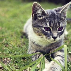 por que los gatos comen hierba