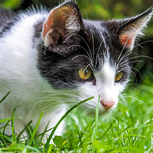 por que los gatos comen hierba gato en jardín