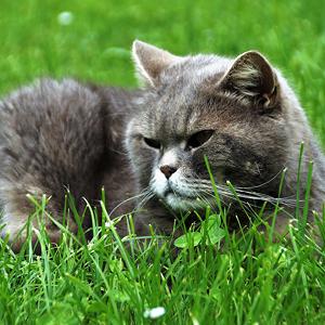 por que los gatos comen hierba imagen de gato tumbado en la hierba