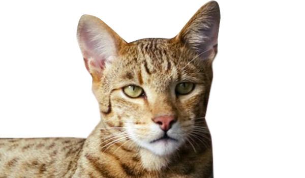 raza de gatos ashera