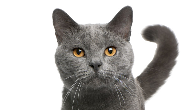 raza de gatos azul ruso