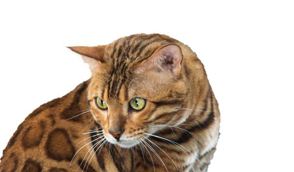 raza de gatos bengalí