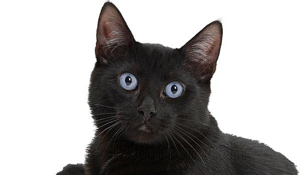 raza de gatos bombay