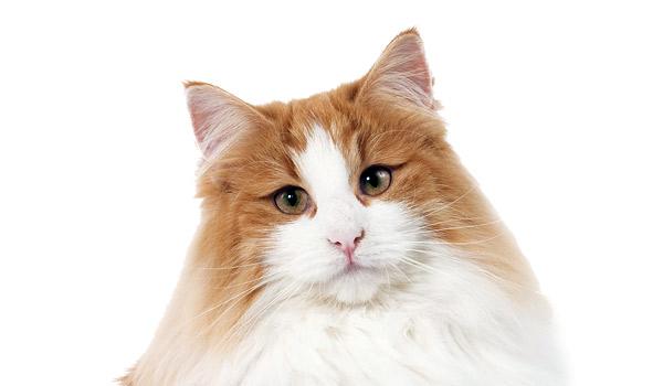 raza de gatos bosque noruega