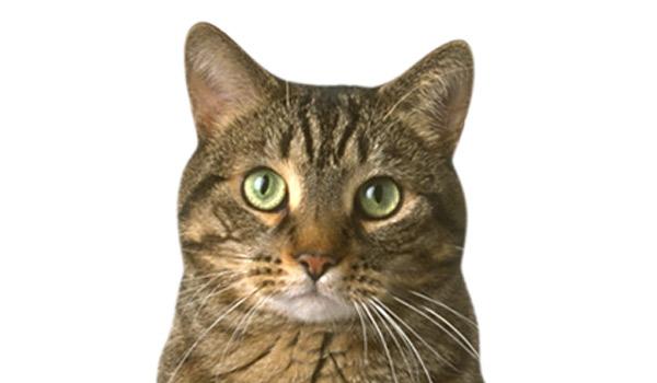raza de gatos comun-europeo