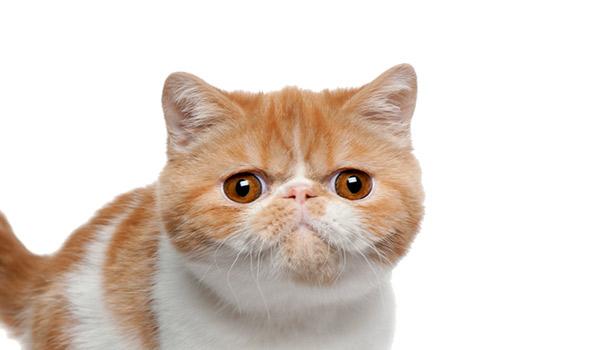 raza de gatos exótico pelo corto