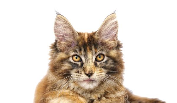 raza de gatos Maine Coon