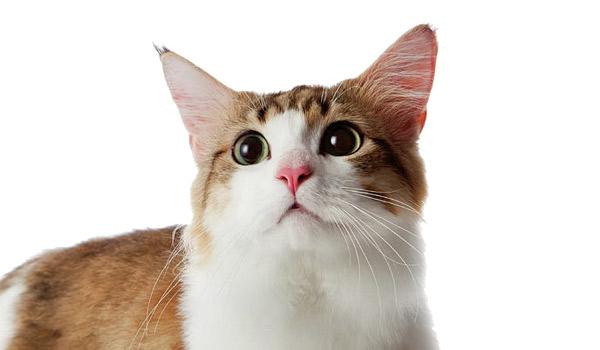 raza de gatos munchkin