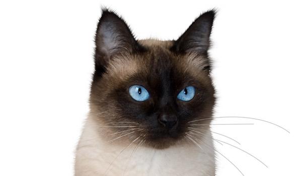 raza de gatos siames