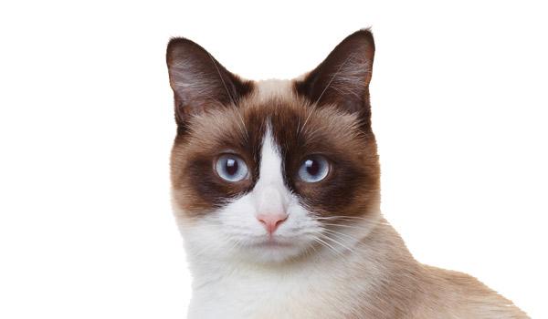 raza de gatos snowshoe
