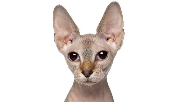 raza de gatos Sphynx gato sin pelo