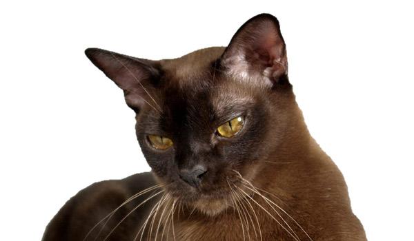 raza de gatos burmes
