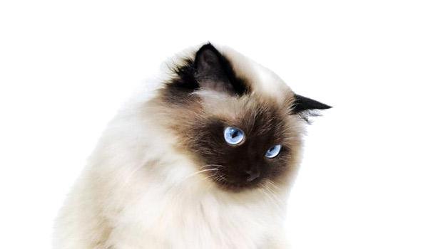 raza de gatos himalayo