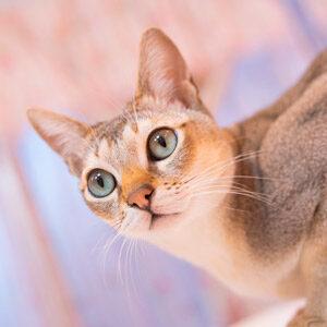 Raza gato pequeño singapura
