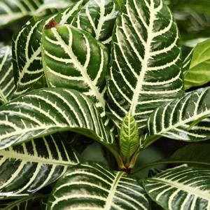 Planta Calathea no tóxica gatos