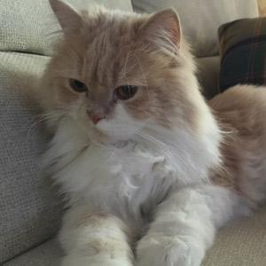 Aser gato persa descansando en sofá