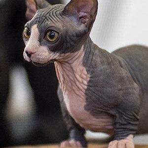 Bambino raza de gato sin pelo