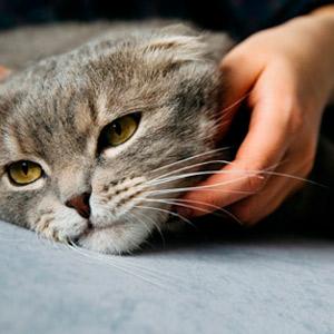 raza gato ideal