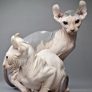 Elfo gato sin pelo