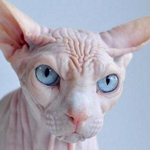 Kohana gato hawaiano sin pelo