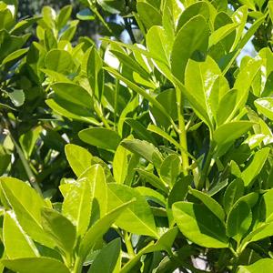 Plantas tóxicas Laurel