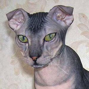 Levkoy gato sin pelo