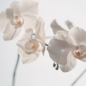 Orquídea planta no tóxica para gatos
