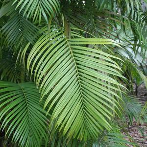 Palma Areca no tóxica