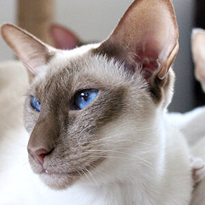 Peterbald gato sin pelo