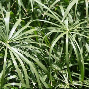 planta araña cinta no toxica para gatos