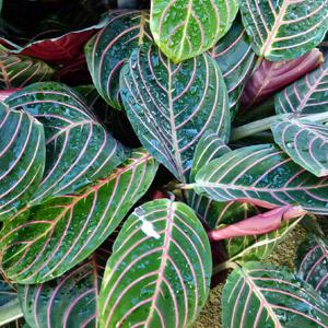 Planta de la oración planta no tóxica