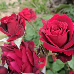 Rosal planta no tóxica