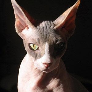 gato egipcio sphynx esfinge