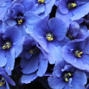 Violeta Africana planta no tóxica