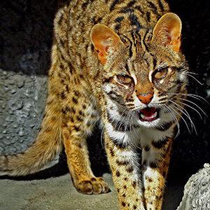 Gato Ashera bufando