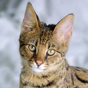Ashera el gato más caro del mundo