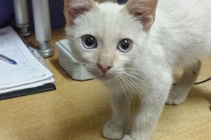 Nuca gato blanco