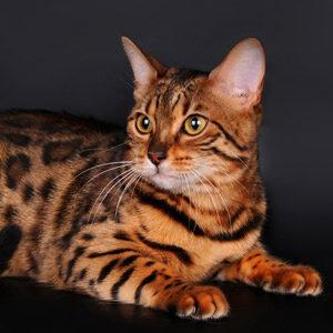 Royal Ashera el gato mas caro del mundo
