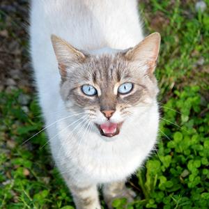el lenguaje de los gatos maullido