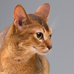 lenguaje gato adoptantes inexpertos en adopción de gatos