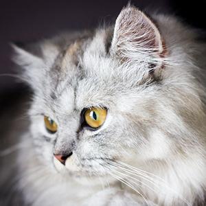 origen del gato persa
